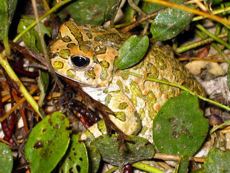 фото зелёной жабы